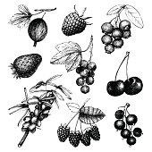 Vintage fruit and berry illustration