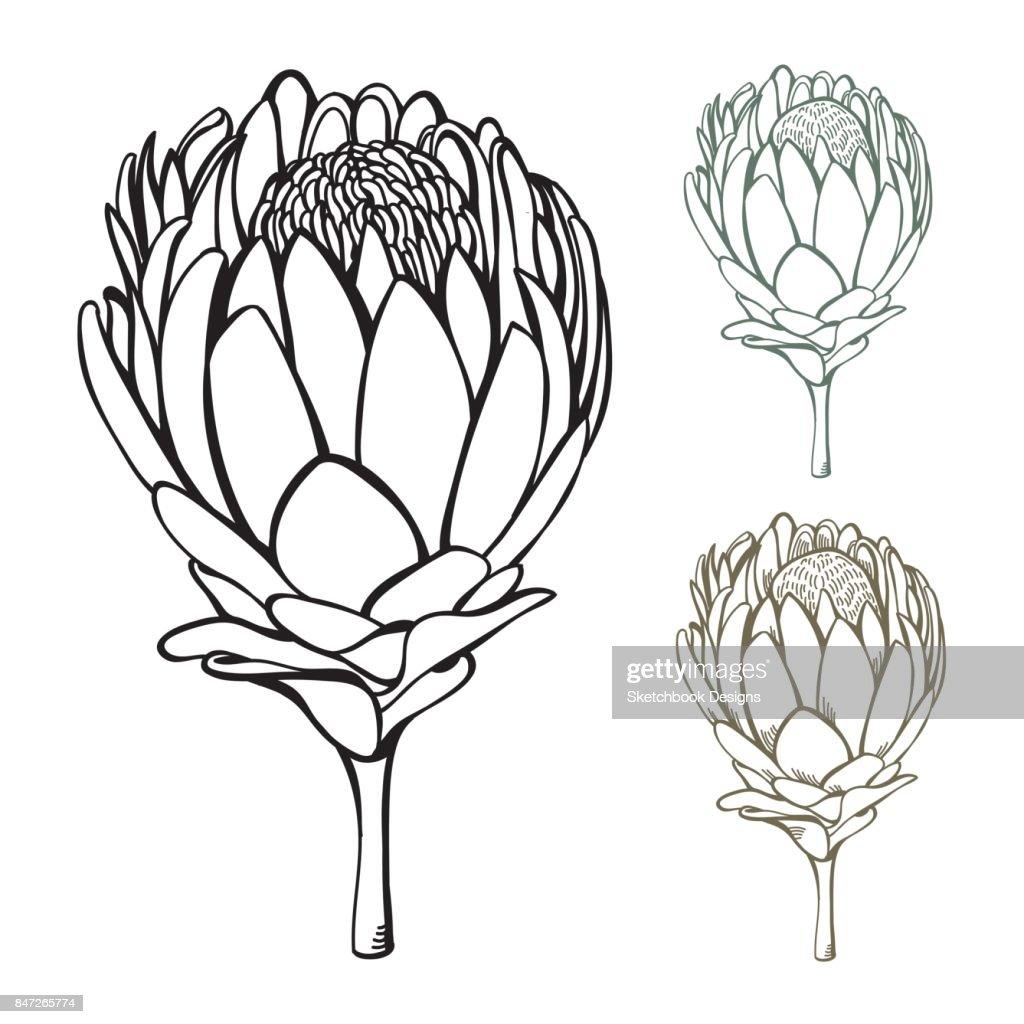 Vintage Handgezeichneten Protea Blume Set Stock ...