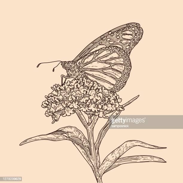 vintage line art monarch butterflies on milkweed pattern - milkweed stock illustrations