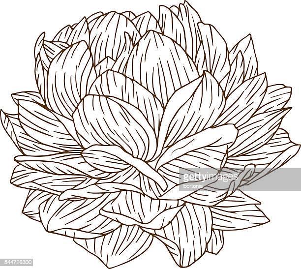 illustrations, cliparts, dessins animés et icônes de gravure cru fleurs de pivoine ligne art - pivoine