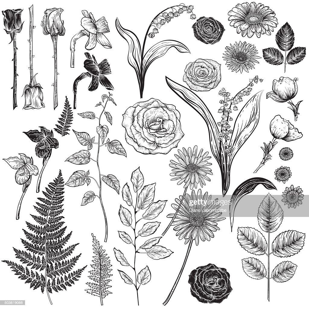 Botanische Rosen im Vintage-Stil Design-Elemente : Stock-Illustration