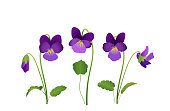 Viola Flower, violet pansies with leaves, Vector illustration isolated on white background