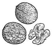 Walnut illustration, drawing, engraving, ink, line art, vector