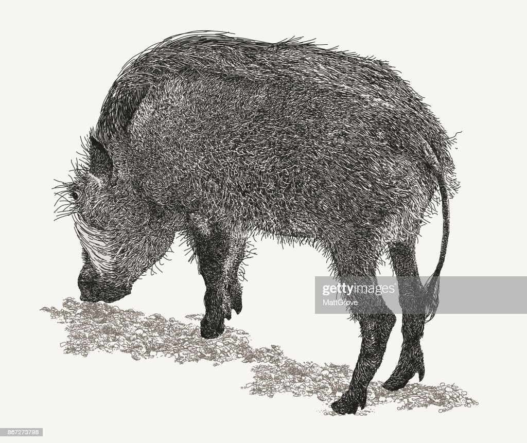 Warthog back