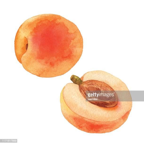illustrations, cliparts, dessins animés et icônes de abricot aquarelle - fruit