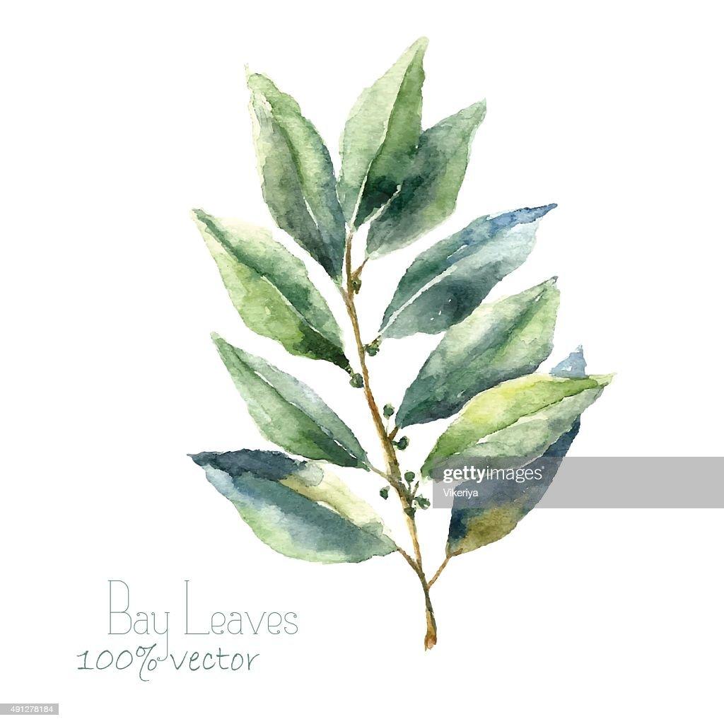 Watercolor bay leaf.