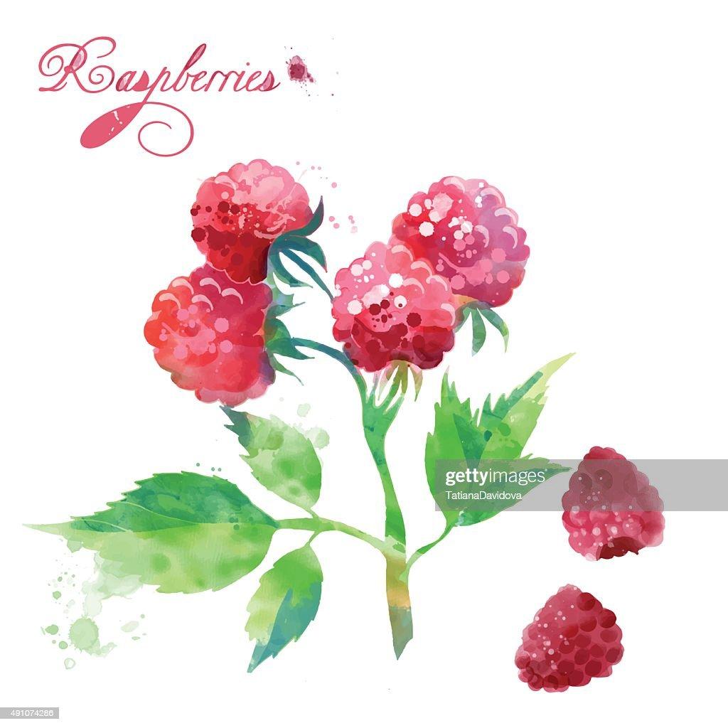watercolor berries raspberries
