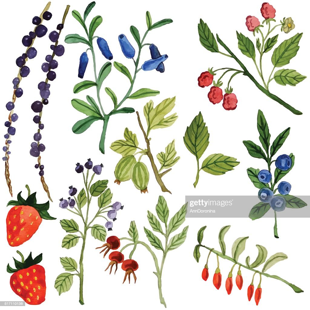 Watercolor berries, vector