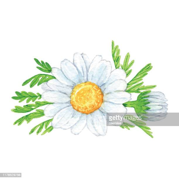 watercolor camomile flowers - daisy stock illustrations
