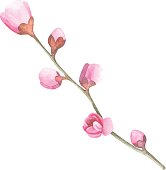 Watercolor cherry blossom. Hand draw cherry blossom sakura branch and flowers.
