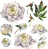 Watercolor Collection of White Peonies.