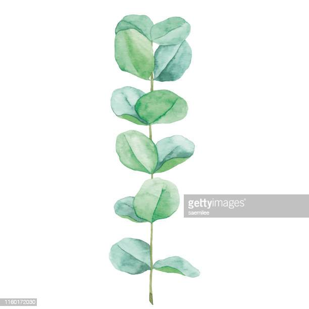 stockillustraties, clipart, cartoons en iconen met aquarel eucalyptus - bloem plant