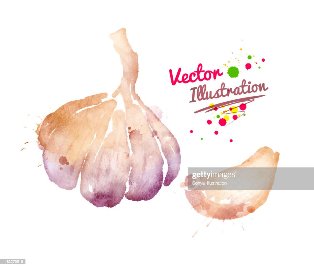 Watercolor garlic.