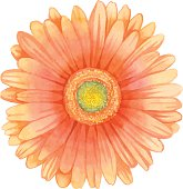 Watercolor gerbera.