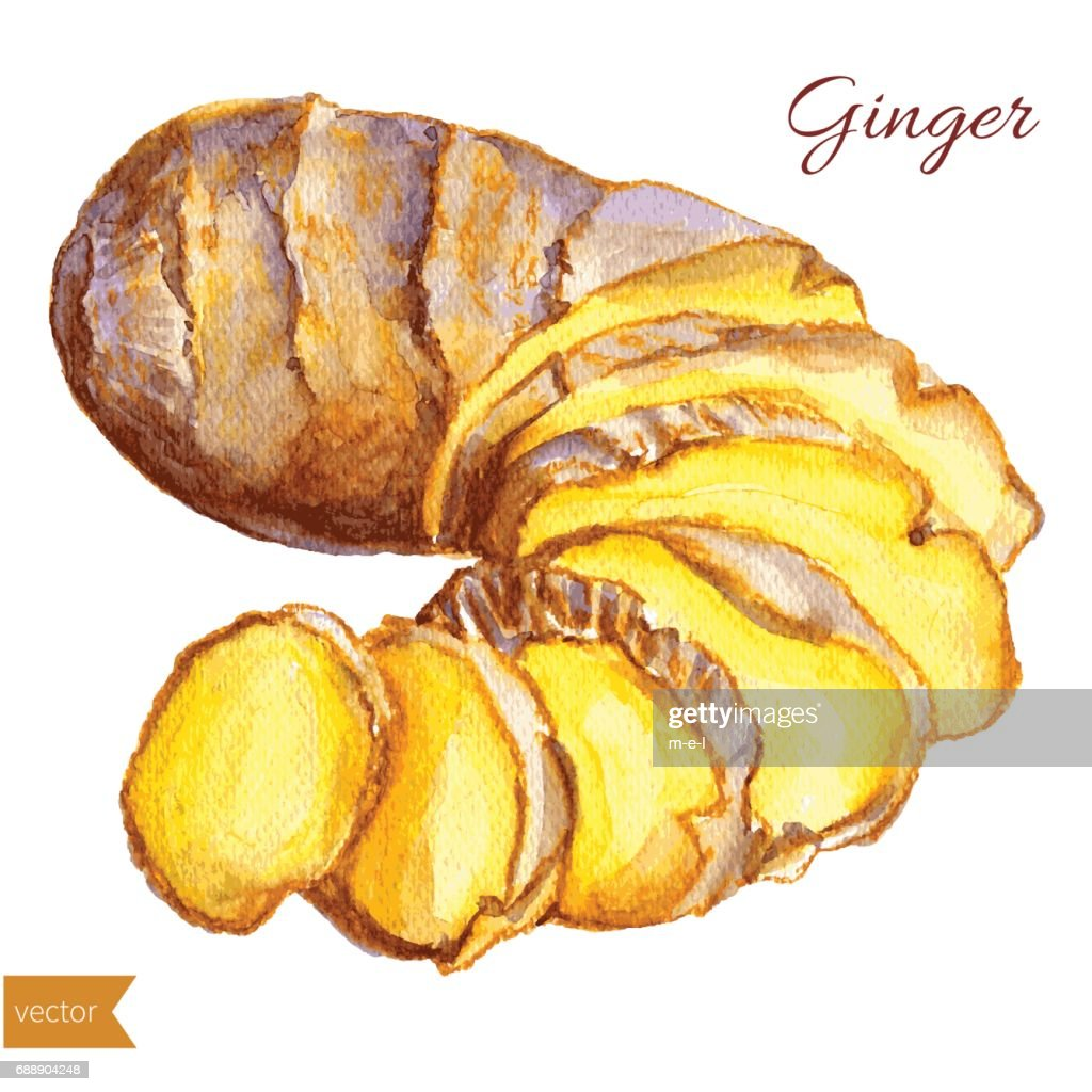 Watercolor ginger root. Hand draw ginger illustration. Spices vector object isolated on white background. Kitchen herbs and spices. Design food elements, Series of food and ingredients for cooking