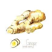 Watercolor ginger root.