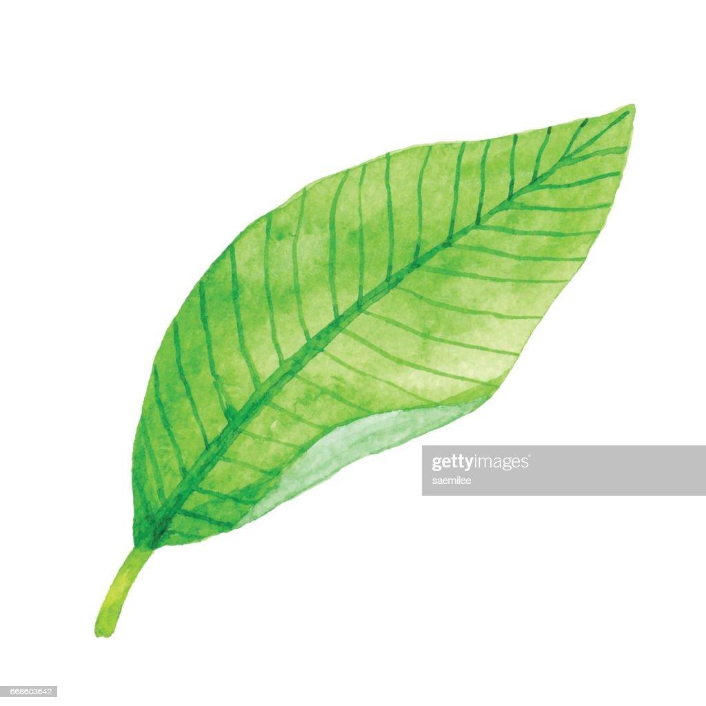 Aquarell Grün Blatt : Stock-Illustration