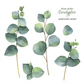 Watercolor hand painted vector set with silver dollar eucalyptus.