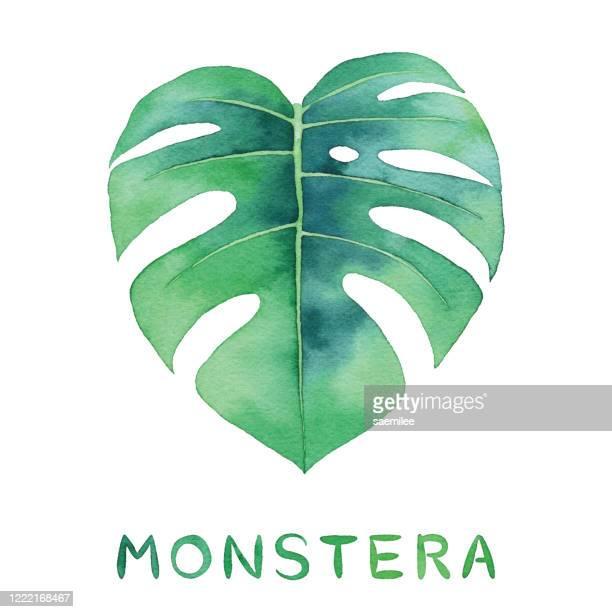 aquarell monstera blatt - fensterblatt aroid stock-grafiken, -clipart, -cartoons und -symbole