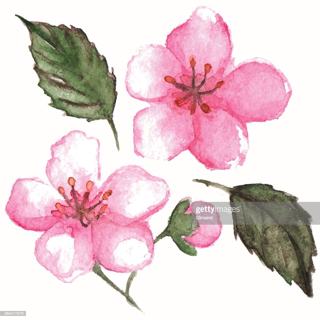 Watercolor pink cherry sakura flower isolated vector