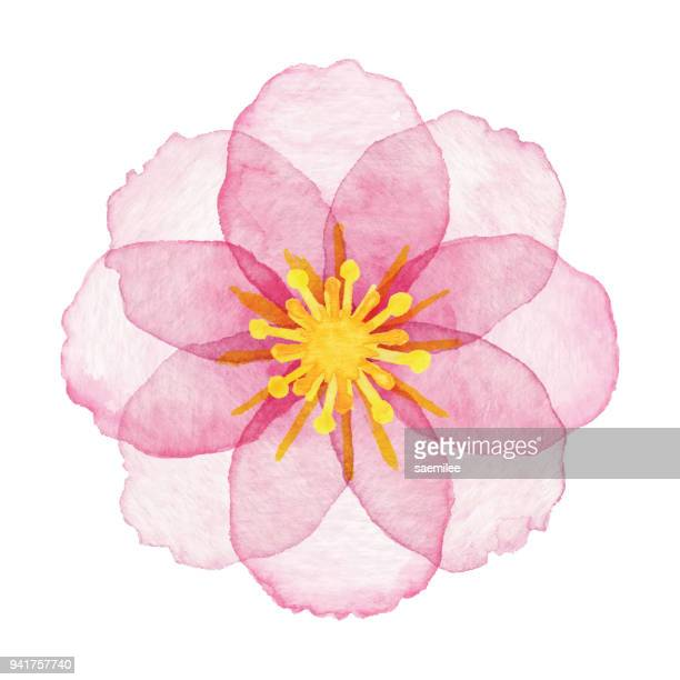 stockillustraties, clipart, cartoons en iconen met aquarel roze bloem - bloesem