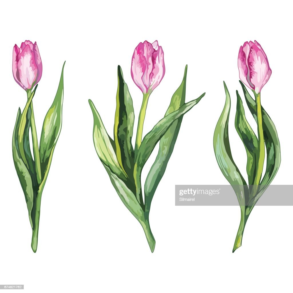 Watercolor pink tulip flower nature set isolated vector
