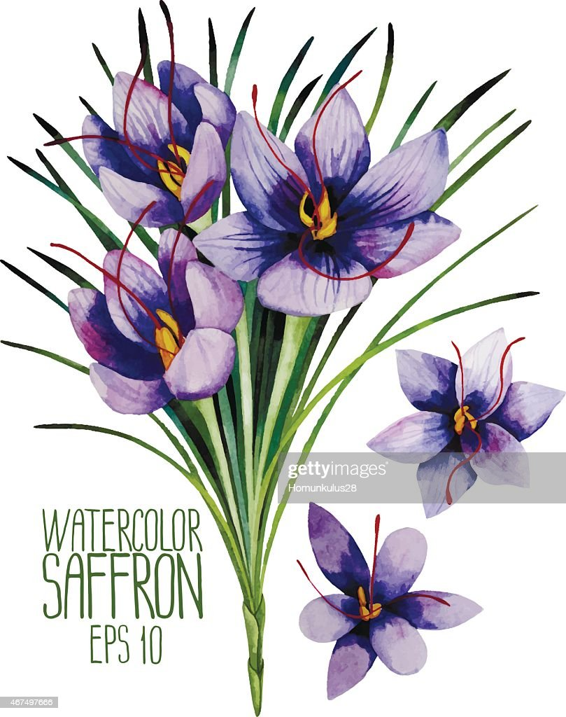 Watercolor saffron flowers
