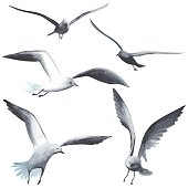 Watercolor seagull