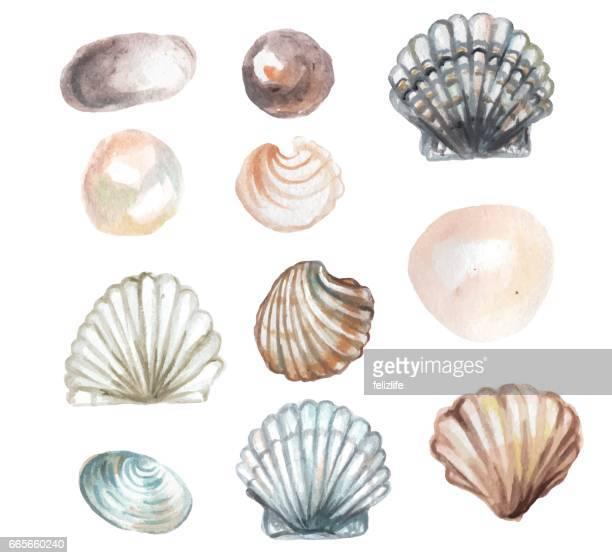 ilustraciones, imágenes clip art, dibujos animados e iconos de stock de acuarela concha - concha de mar