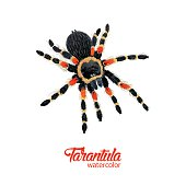 Watercolor spider tarantula