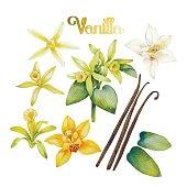 Watercolor vanilla flower
