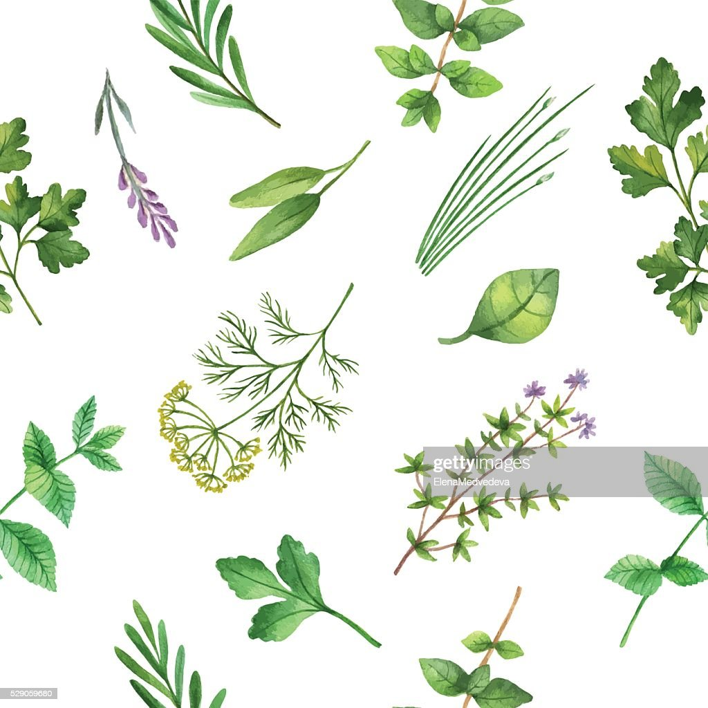 Watercolor vector seamless pattern hand drawn herb .