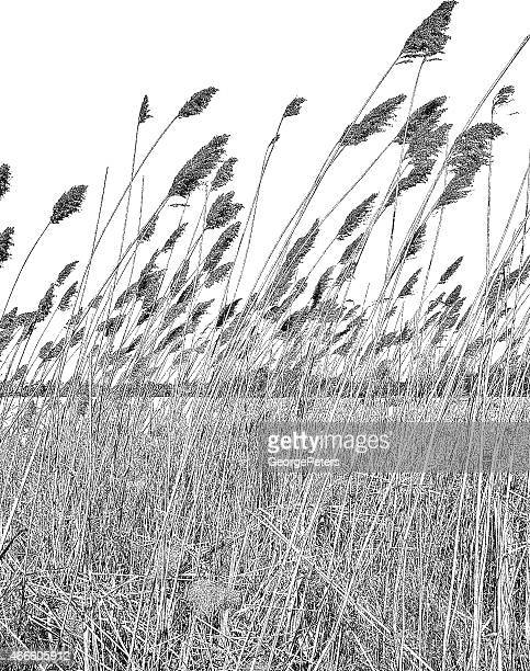 Wetlands. Dried Ornamental Grass