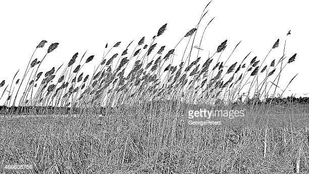 wetlands.   getrocknete ziergräser - pampa stock-grafiken, -clipart, -cartoons und -symbole