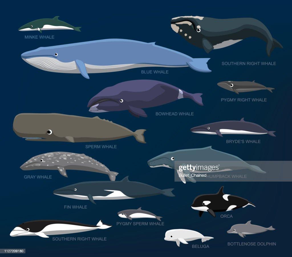Whales Species Size Comparison Set Cartoon Vector Illustration