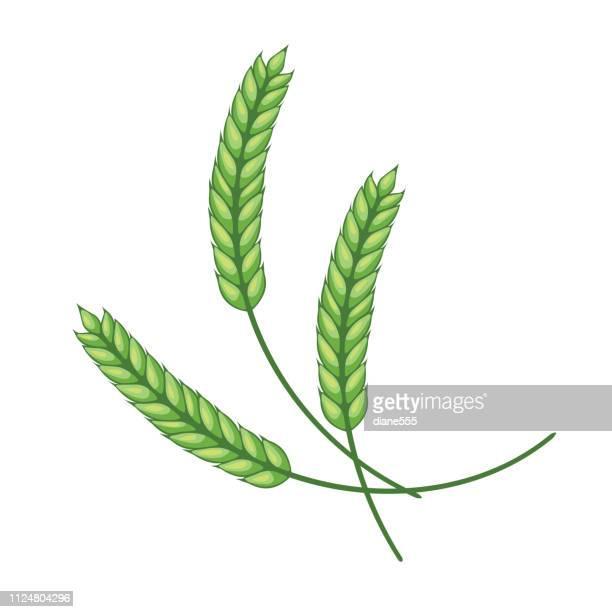 ilustraciones, imágenes clip art, dibujos animados e iconos de stock de elemento de diseño de trigo - verde - espiga de trigo