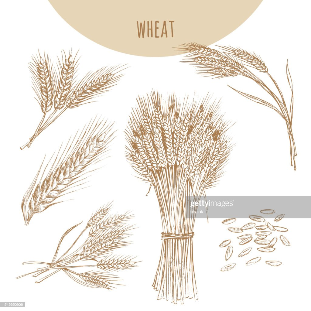 Wheat ears, sheaf and grains. Cereals sketch hand drawn drawing.
