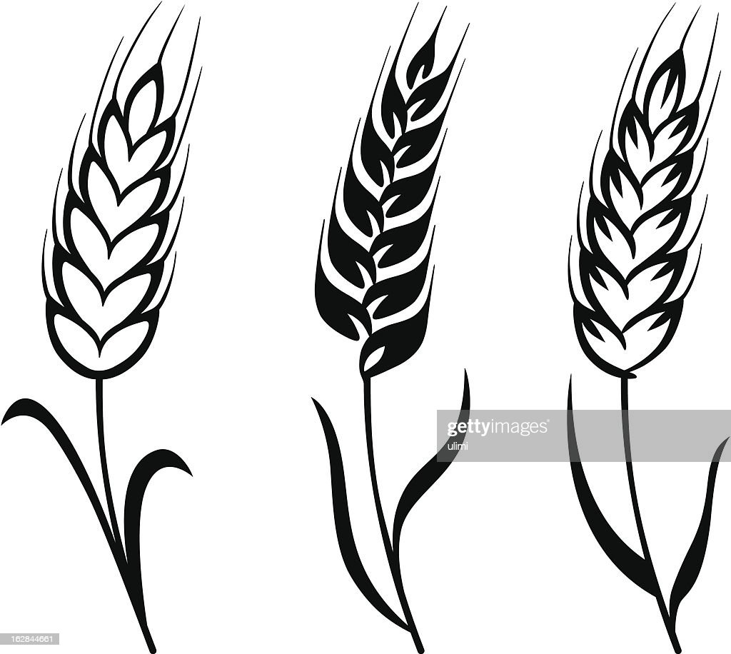 wheat vector art getty images rh gettyimages com wheat vector png wheat vector free