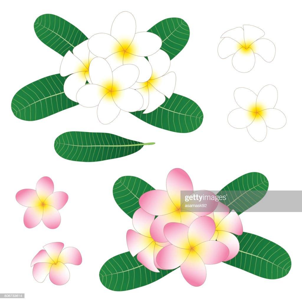 White and Pink Plumeria, Frangipani isolated on White Background. Vector Illustration
