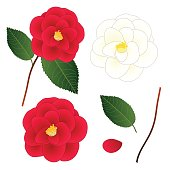 White and Red Camellia Flower. isolated on White Background. Vector Illustration