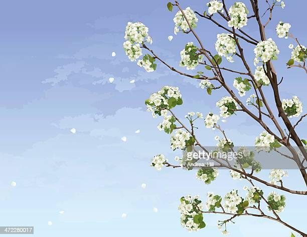 ilustraciones, imágenes clip art, dibujos animados e iconos de stock de blanco cerezos en flor - cherry tree