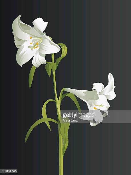 white lily branch - lily stock illustrations, clip art, cartoons, & icons