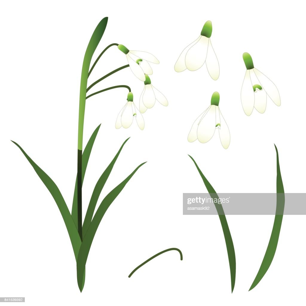 White Snowdrop Flower. isolated on White Background. Vector Illustration