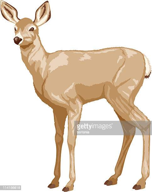 illustrations, cliparts, dessins animés et icônes de le cerf à queue blanche - biche