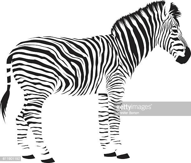 wild african zebra - zebra stock illustrations
