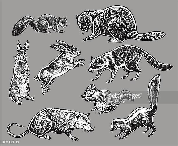 illustrazioni stock, clip art, cartoni animati e icone di tendenza di animali-coniglio, scoiattolo, moffetta, procione lavatore - opossum