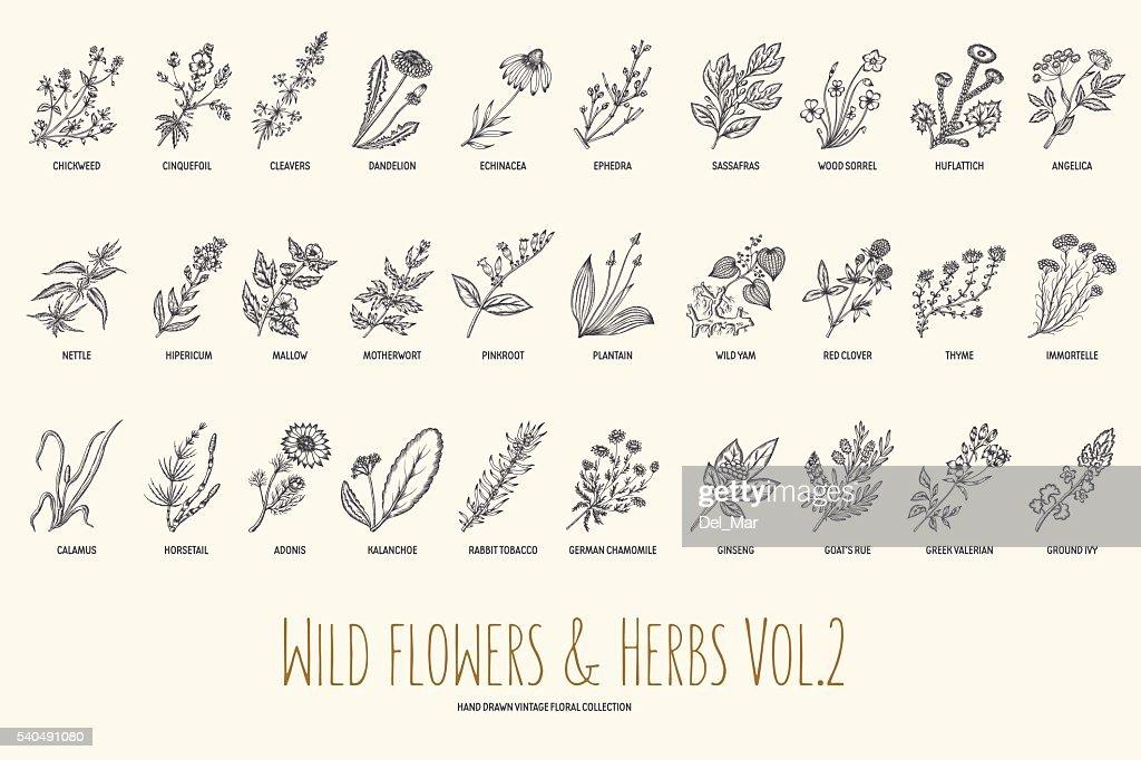 Wild flowers and herbs hand drawn set. Volume 2. Vintage