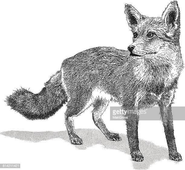 ilustraciones, imágenes clip art, dibujos animados e iconos de stock de wild fox - fauna silvestre