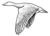 Wild geese illustration, drawing, engraving, ink, line art, vector