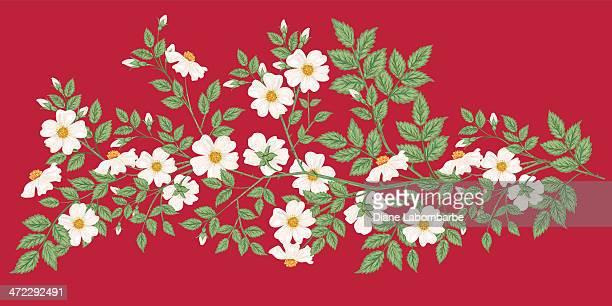 bildbanksillustrationer, clip art samt tecknat material och ikoner med wild white roses on red background - taggig buske